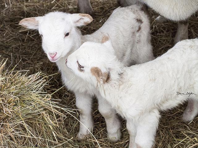 Due agnellini di due giorni