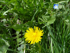 The dandelion: a colorful supply of vitamines