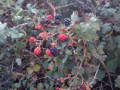 The blackberry bush: a wild herb with sweets fruits.