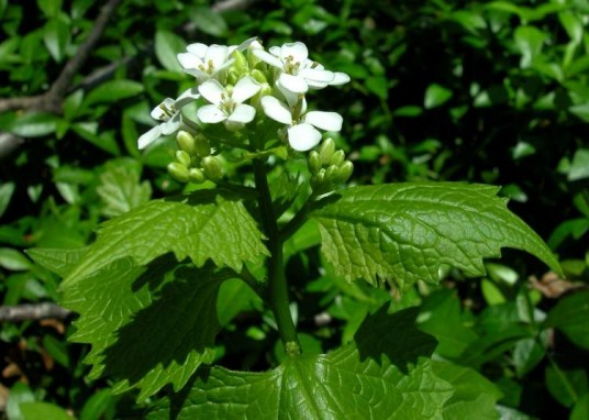 The alliaria: a nice garlicky herb