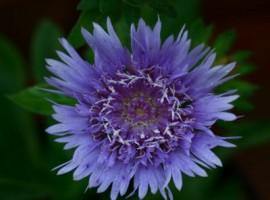 Stokesia flower