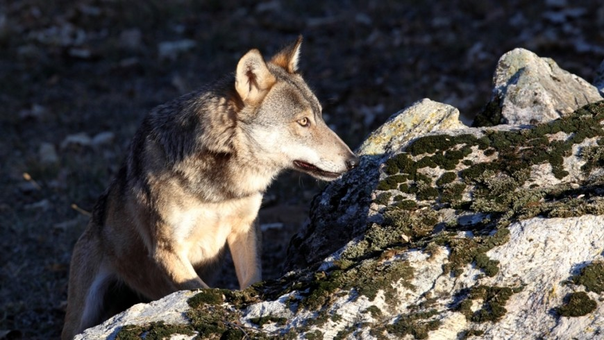 Wolf in the italian Maritime Alps natural Park