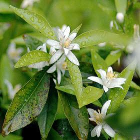 Zagare flower