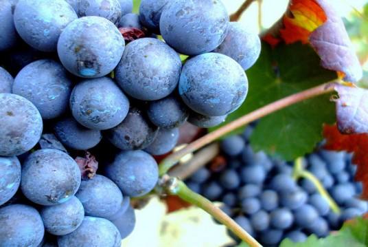 Uva rossa fotografia di Chiara Bigaran via Flickr
