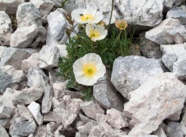 Flowers near Hut Luca Vuerich, Friuli Venezia Giulia