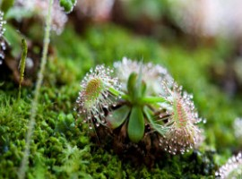 Sundew on succulent