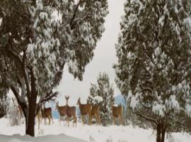 Deer amd snow