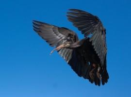 Ibis Calva