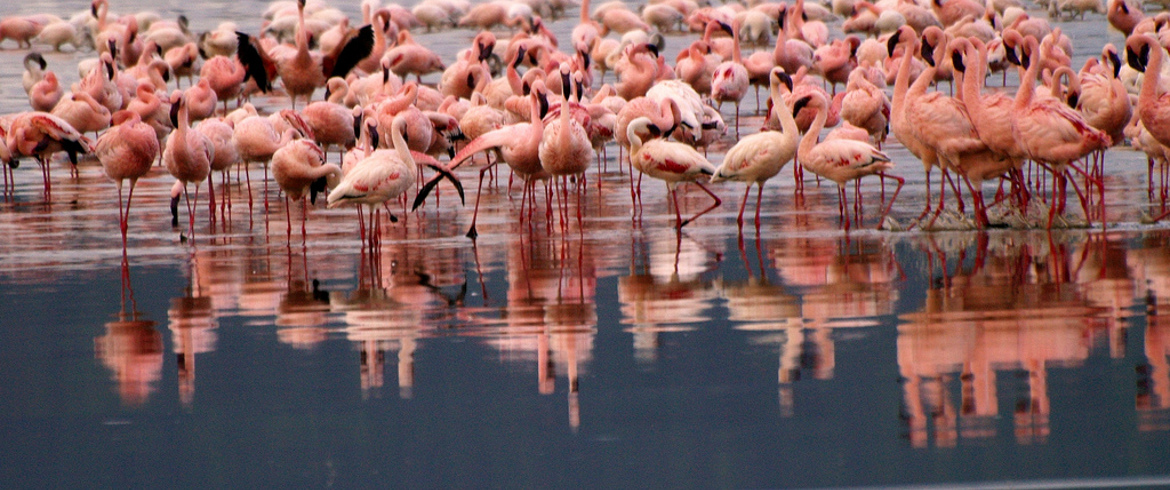 Pink flamingoes in the Po river Natural Park