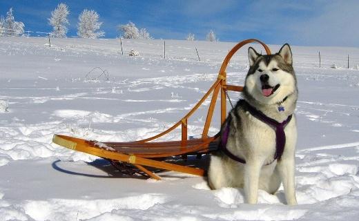 dog sledding in werfenw