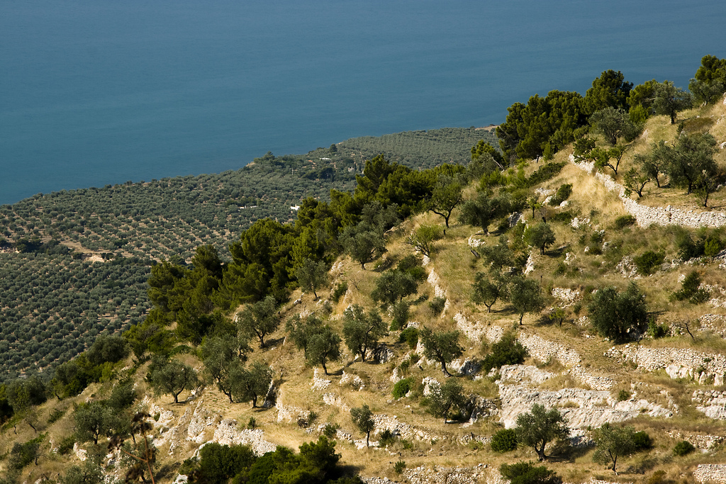Olive trees in Gargano, South Italy