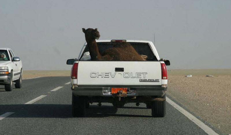 Camel in a van