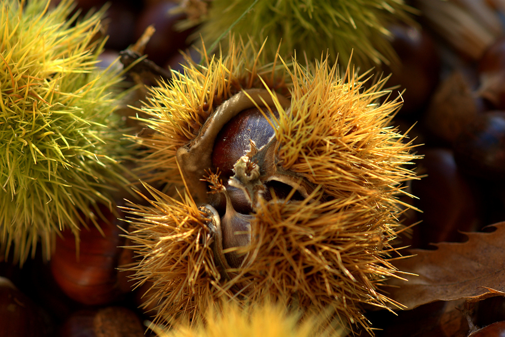 Chestnuts, Foliage and Colors of Autumn in Italy