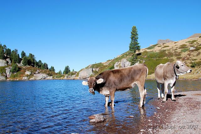 Two cows in Lagorai