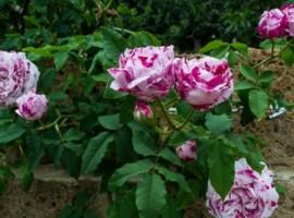 CasaCocò's roses
