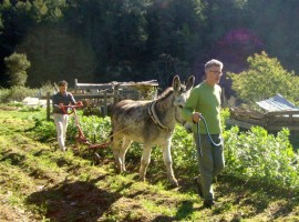 Working with donkeys in the vegetable garden