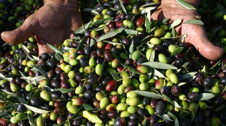 Olive harvest in Calabria
