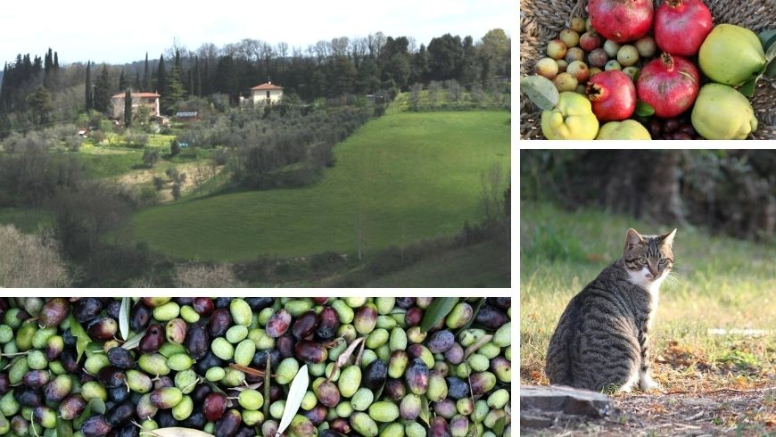 Landscape, olive harvest, organic and zero-km fruit, cat at La Fanciullaccia bnb