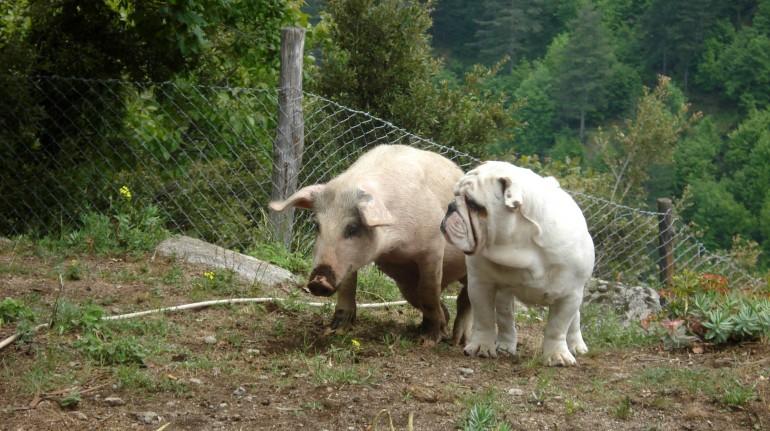 farm holidays, pig