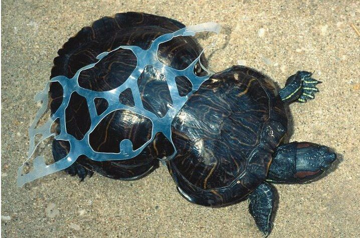 The effects of plastic in the seas: a disfigured turtle