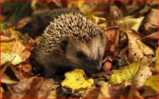 A little hedgehog