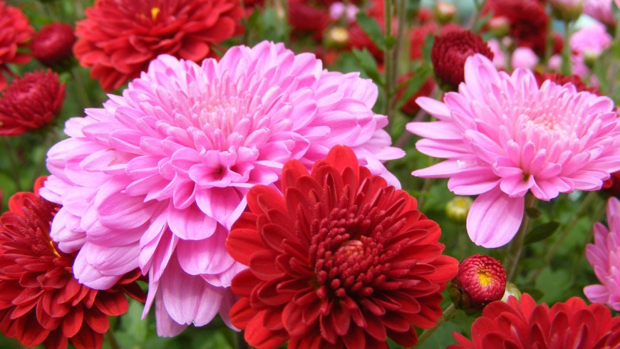 Chrysanthemum is one of the plants that can make the indoor air cleaner