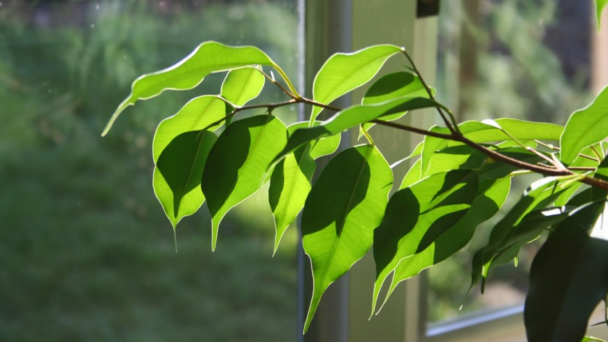Ficus is one of the plants that can make the indoor air cleaner