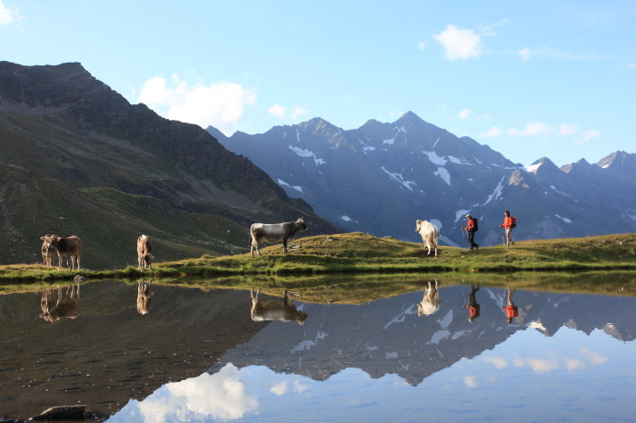 free cows grazing in the unspoiled nature near Plan, Passeiertal, Alpine Pearl of Moso in Val Passiria, Alto dige