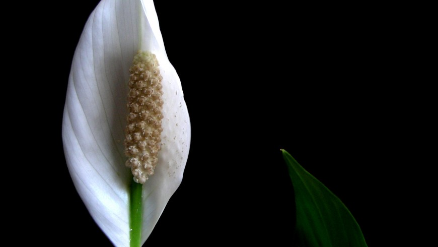 Peace lily is one of the plants that can make the indoor air cleaner
