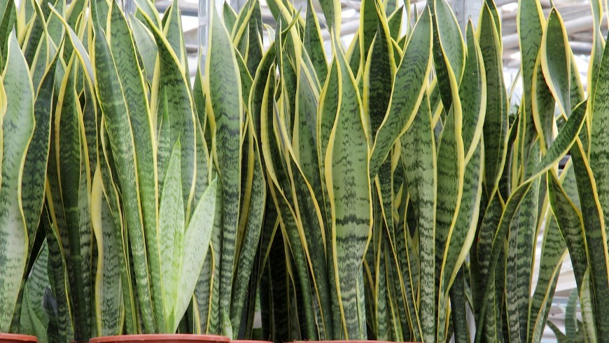 Sansevieria is one of the plants that can make the indoor air cleaner
