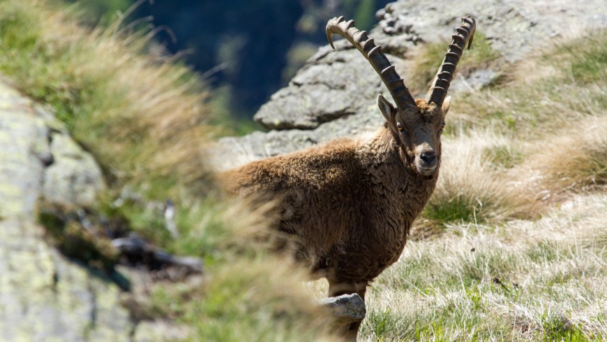 See an ibex in the Gran Paradiso Park