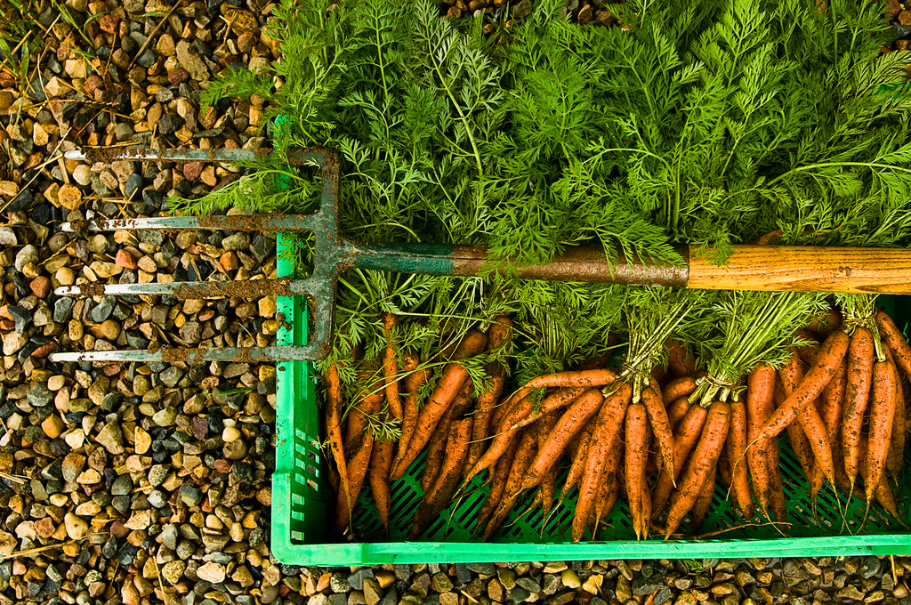 Organic food benefits carrots