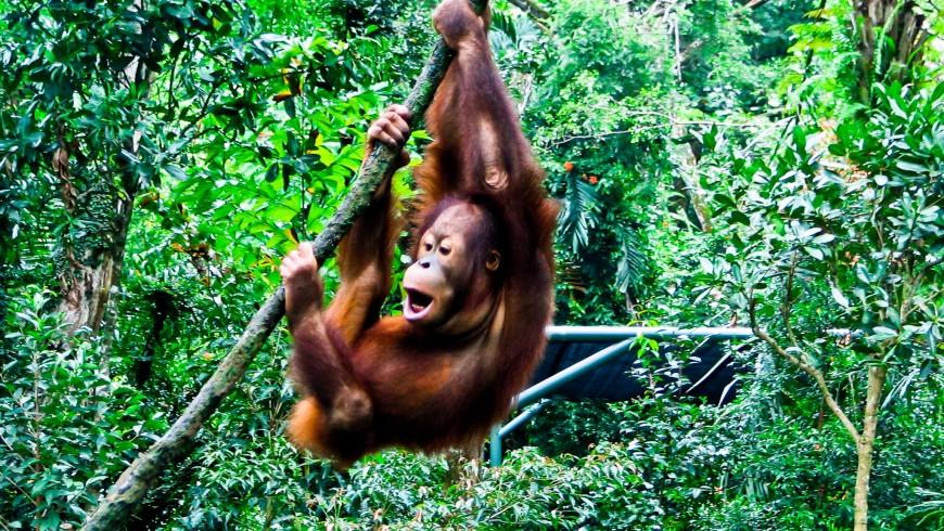 Photography Borneo Orangutan