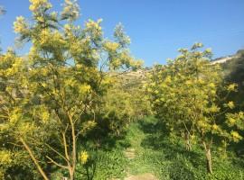 Flowering mimosa trees in spring