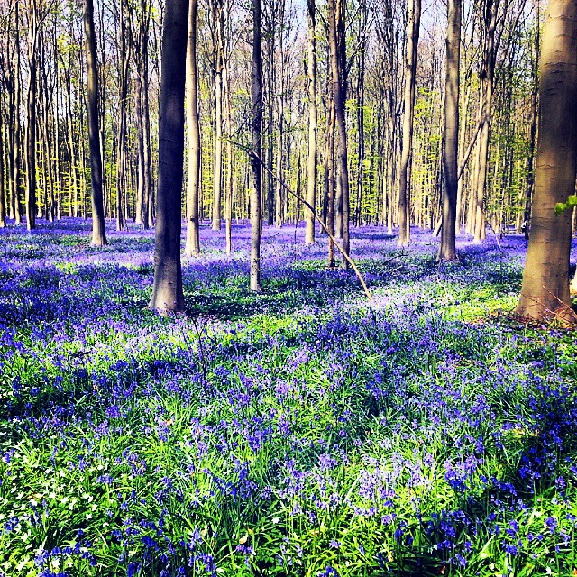The magic of a blue forest in Belgium