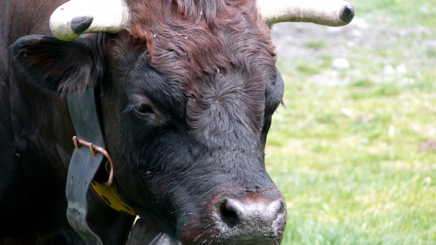 The descent of cows from the mountains in Aosta Valley