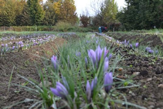 The flowers of saffron in Vallescuria farm in Brianza