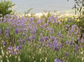 Irises, purple flowers, Poggio Pratelli, green accommodations