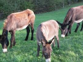 The dunkeys of Malga Riondera holiday farm