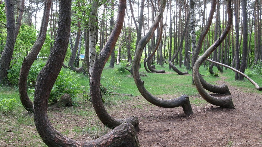 Crooked Forest. Suggestive and mysterious trees in Poland