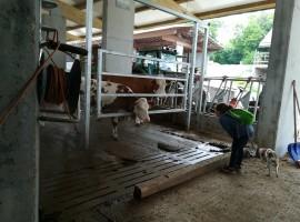 Farm Mulej, outside and calf