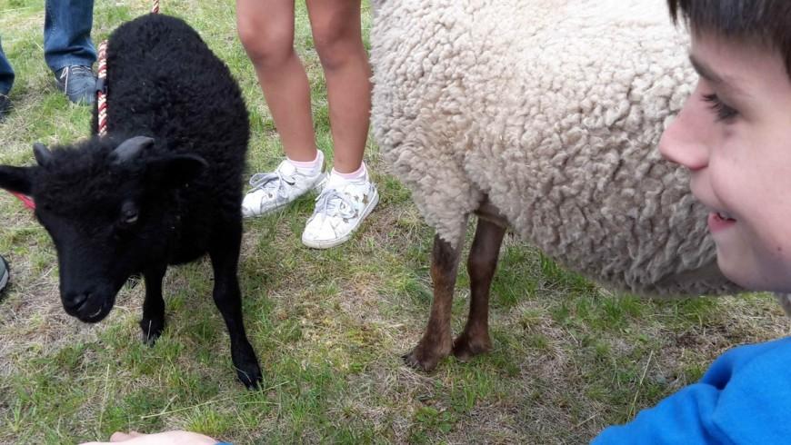 sheep in Moena, Trentino, Italy