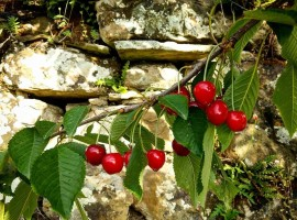 Cherries in La Fontaccia