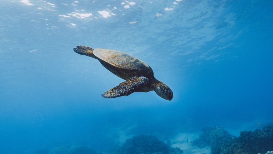 The Caretta Caretta turtles in Lampedusa