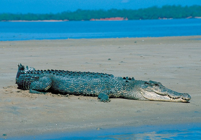 Sea crocodiles