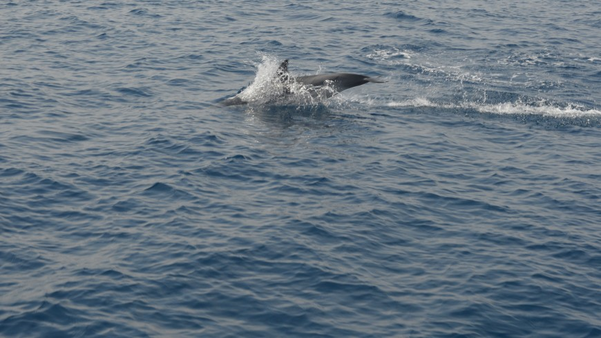 In the sea of ​​Genoa following the dolphins