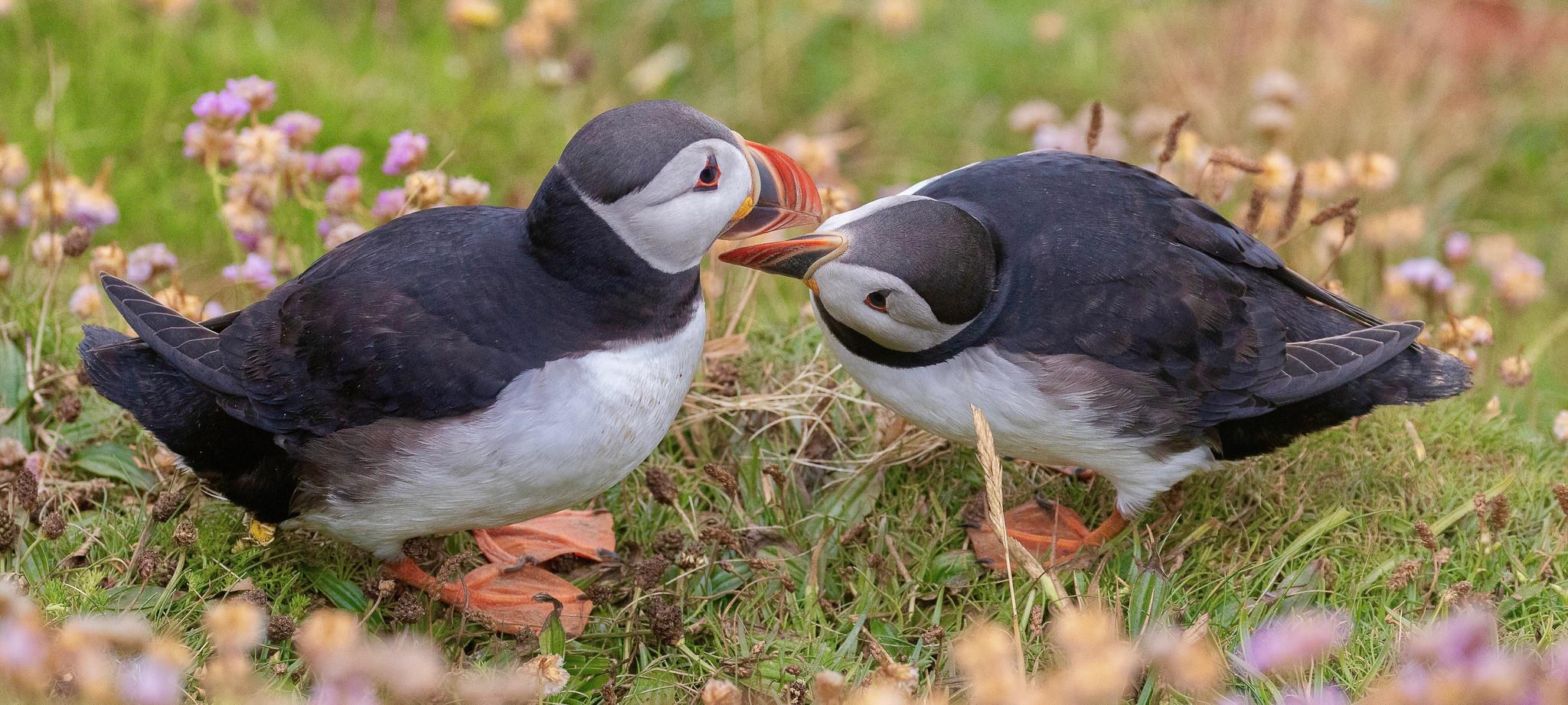 Shetland's Atlantic puffins