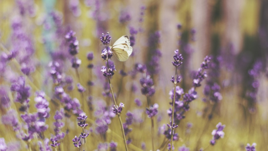 Green holidays in the lavender fields