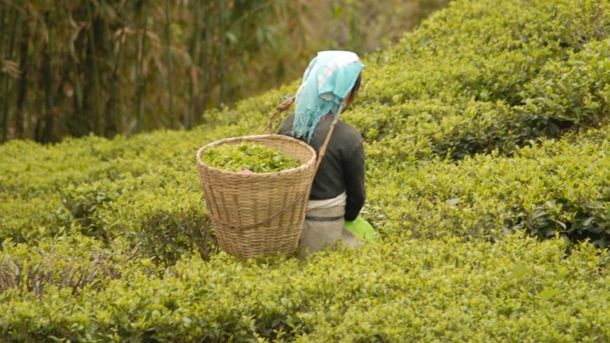 sikkim, organic farm