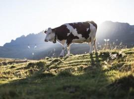 cow in San Pellegrino, Trentino, Dolomites, Italy
